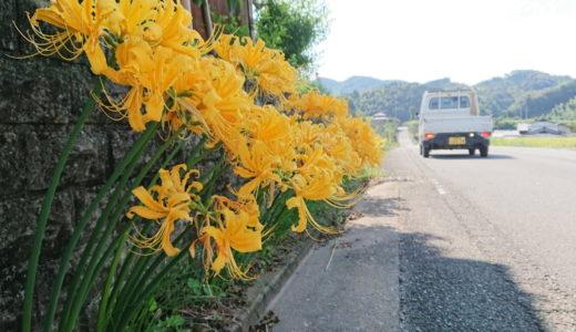 黄色い彼岸花が珍しくカワイイ