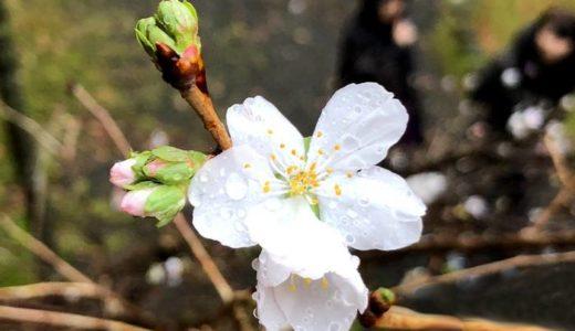 12月に咲く桜、冬桜(ふゆざくら)